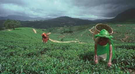 Sri Lanka Tea Plantation with mountains in the backdrop